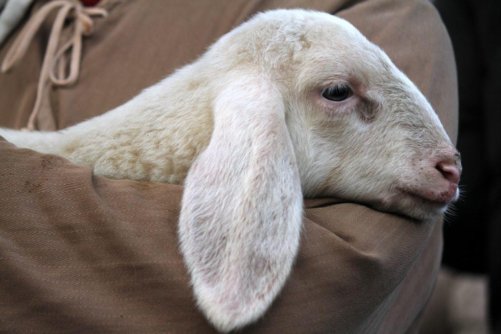 旧约的逾越节祭物-羊羔